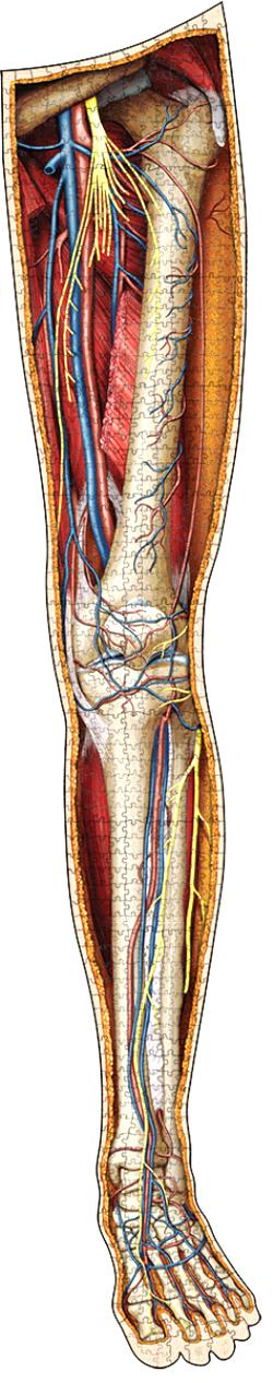 Dr. Livingston's Anatomy Jigsaw Puzzle: The Human Left Leg Science Jigsaw Puzzle