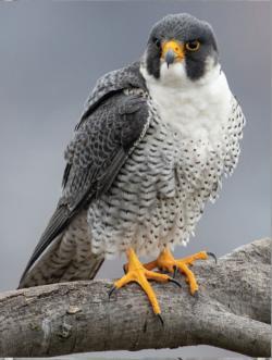 Peregrine Falcon MiniPix® Puzzle Birds Miniature Puzzle