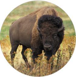 American Bison Puzzle A•Round: Wildlife Round Jigsaw Puzzle