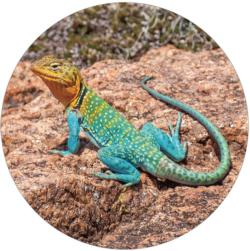 Collared Lizard Puzzle A•Round: Reptiles / Amphibians Round Jigsaw Puzzle
