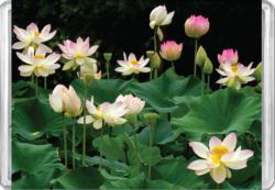 Lotus Flowers MiniPix® Puzzle Flowers Miniature Puzzle