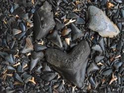 Fossilized Shark's Teeth Beach Jigsaw Puzzle