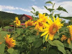 Sunflower Daze Flowers Jigsaw Puzzle