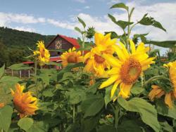 Sunflower Daze Sunflower Jigsaw Puzzle