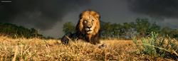 Lion Photography Panoramic