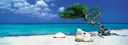 Divi Divi Tree Seascape / Coastal Living Panoramic