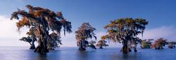 Bald Cypresses Lakes / Rivers / Streams Panoramic Puzzle