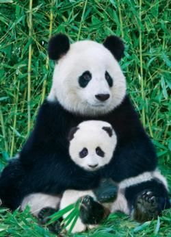 Panda and Baby (Small Box) Baby Animals