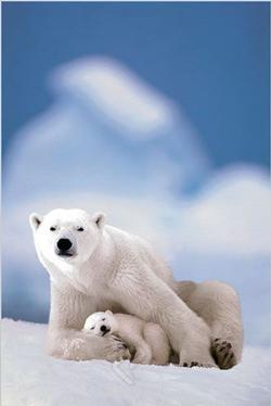 Polar Bear & Baby - Vertical Photography Jigsaw Puzzle