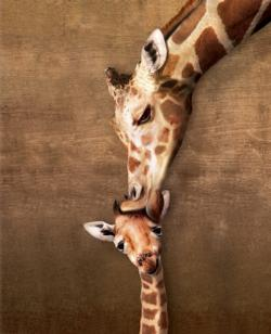 Giraffe Mother's Kiss (Small Box) Baby Animals