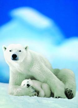 Polar Bear and Baby (Small Box) Baby Animals