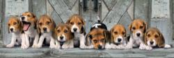 Beagles Dogs Panoramic Puzzle