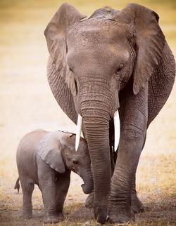 Elephant & Baby (Mini) Baby Animals Miniature
