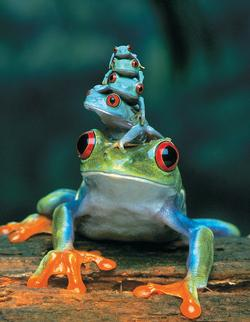 Red-Eyed Tree Frog (Mini) Reptiles / Amphibians Miniature Puzzle