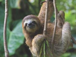 Three Toed Sloth Photography Jigsaw Puzzle