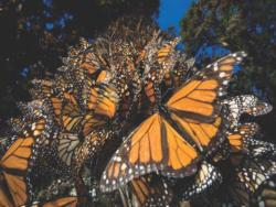 Monarch Butterflies Photography Jigsaw Puzzle