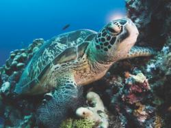 Green Sea Turtle Photography Jigsaw Puzzle