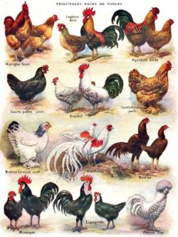 Poules Poultry Chickens & Roosters Jigsaw Puzzle