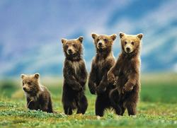 Bear Cubs Standing Wildlife Large Piece