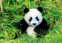Panda Bear Pandas Jigsaw Puzzle