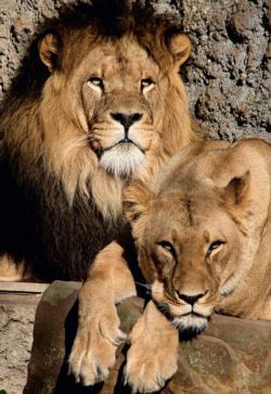 Artis Lions Lions Jigsaw Puzzle