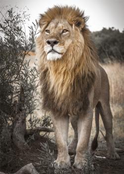 Proud Lion Lions Jigsaw Puzzle