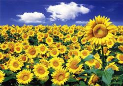 Sunflower Ii Sunflower Jigsaw Puzzle