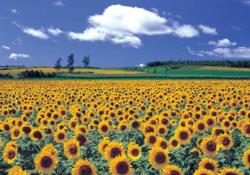 Sunflower Field 4 Sunflower Jigsaw Puzzle