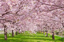 Cherry Blossom Plants Jigsaw Puzzle