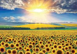 Sunflower Field Sunflower Jigsaw Puzzle