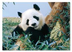 Giant Panda Pandas Children's Puzzles