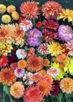 Hello, Dahlias! Flowers Jigsaw Puzzle