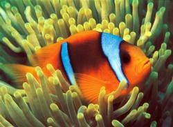 Clownfish Under The Sea Jigsaw Puzzle