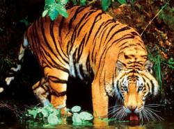Bengal Tiger Animals Jigsaw Puzzle