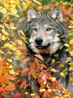 Autumn Gray Wolf Wolves Jigsaw Puzzle