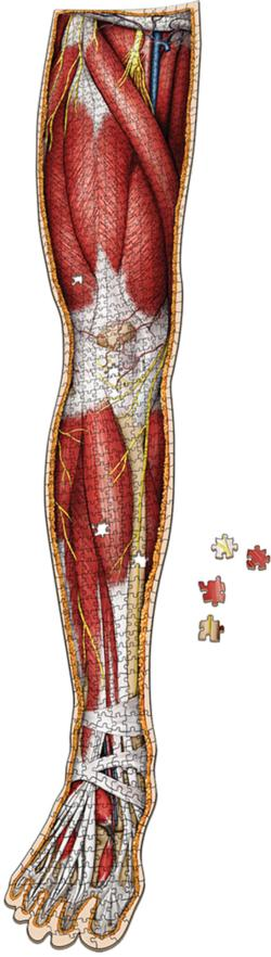 Dr. Livingston's Anatomy Jigsaw Puzzle: The Human Right Leg Science Jigsaw Puzzle