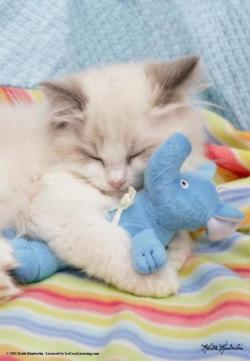 Ragdoll Sleep Baby Animals Jigsaw Puzzle
