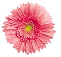 Pink Gerbera Daisy Mother's Day Shaped Puzzle