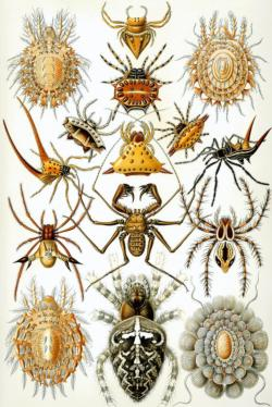 Arachnida by Ernst Haeckel Fine Art