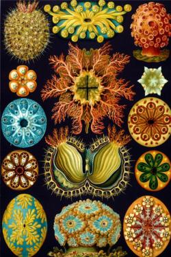 Ascidiae by Ernst Haeckel Fine Art