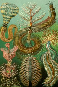 Chaetopoda by Ernst Haeckel Fine Art