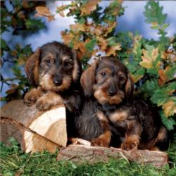 Cute Puppies Dogs Jigsaw Puzzle