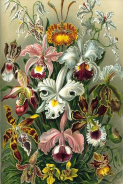 Orchids by Ernst Haeckel Fine Art